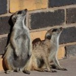 Meerkat Manor in the Kalahari Part 1 - 10