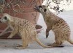 Meerkat Manor in the Kalahari Part 1 - 12