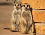 Meerkat Manor in the Kalahari Part 1 - 3