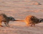 Meerkat Manor in the Kalahari Part 1 - 4