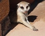 Meerkat Manor in the Kalahari Part 1 - 5