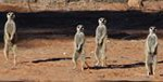 Meerkat Manor in the Kalahari Part 2 - 11