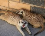 Meerkat Manor in the Kalahari Part 2 - 17
