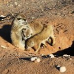 Meerkat Manor in the Kalahari Part 2 - 18