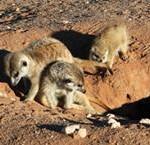 Meerkat Manor in the Kalahari Part 2 - 19