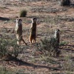 Meerkat Manor in the Kalahari Part 2 - 26