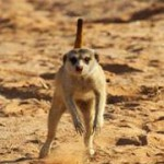 Meerkat Manor in the Kalahari Part 2 - 27
