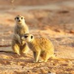 Meerkat Manor in the Kalahari Part 2 - 28