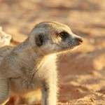 Meerkat Manor in the Kalahari Part 2 - 30