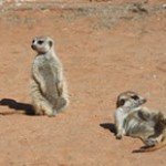 Meerkat Manor in the Kalahari Part 2 - 34