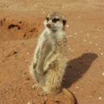 Meerkat Manor in the Kalahari Part 2 - 39