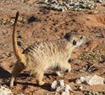 Meerkat Manor in the Kalahari Part 2 - 41