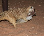 Meerkat Manor in the Kalahari Part 2 - 45