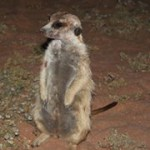 Meerkat Manor in the Kalahari Part 2 - 46