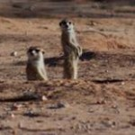 Meerkat Manor in the Kalahari Part 2 - 47