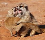 Meerkat Manor in the Kalahari Part 2 - 48