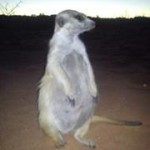 Meerkat Manor in the Kalahari Part 2 - 52