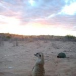 Meerkat Manor in the Kalahari Part 2 - 53