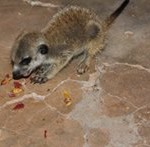 Meerkat Manor in the Kalahari Part 2 - 56