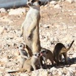 Meerkat Manor in the Kalahari Part 2 - 60