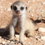 Meerkat Manor in the Kalahari Part 2 - 61