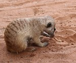 Meerkat Manor in the Kalahari Part 2 - 8