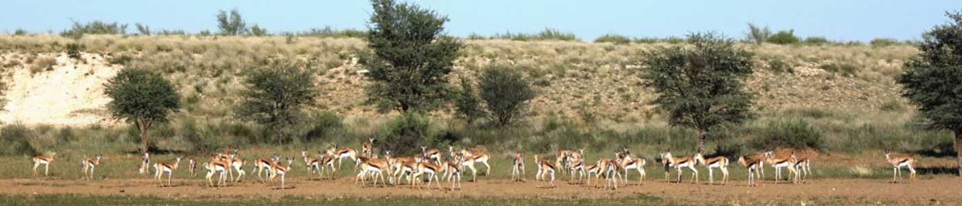 Springbok - Kalahari Trails