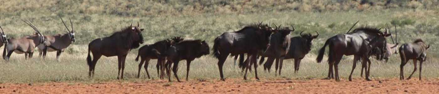 Wildebees - Kalahari Trails