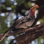 yellow-hornbill