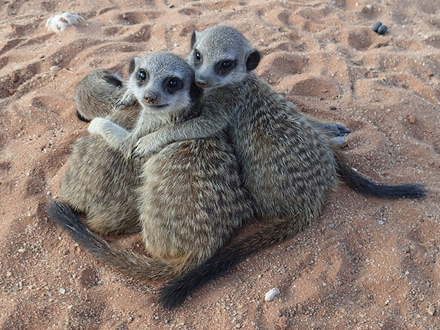 http://www.kalahari-trails.co.za/wp-content/uploads/2017/03/new-meerkats-slide-1.jpg