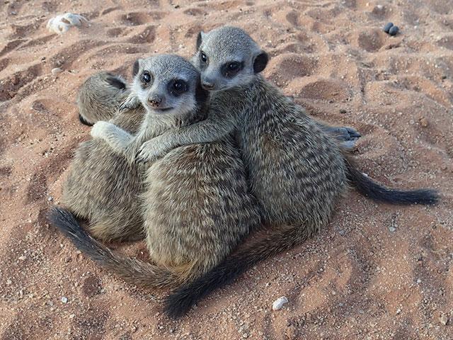 http://www.kalahari-trails.co.za/wp-content/uploads/2017/03/new-meerkats-slide-1.jpg