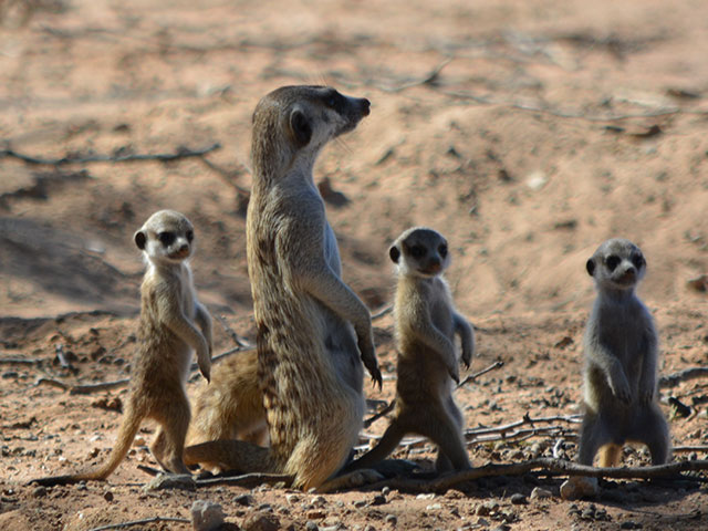 http://www.kalahari-trails.co.za/wp-content/uploads/2017/03/new-meerkats-slide-11.jpg