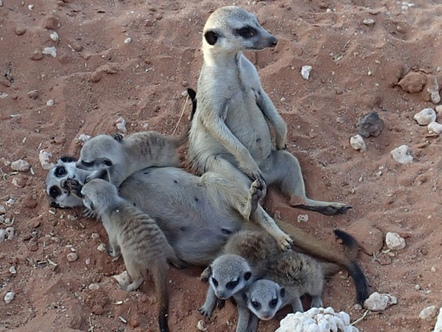 http://www.kalahari-trails.co.za/wp-content/uploads/2017/03/new-meerkats-slide-2.jpg
