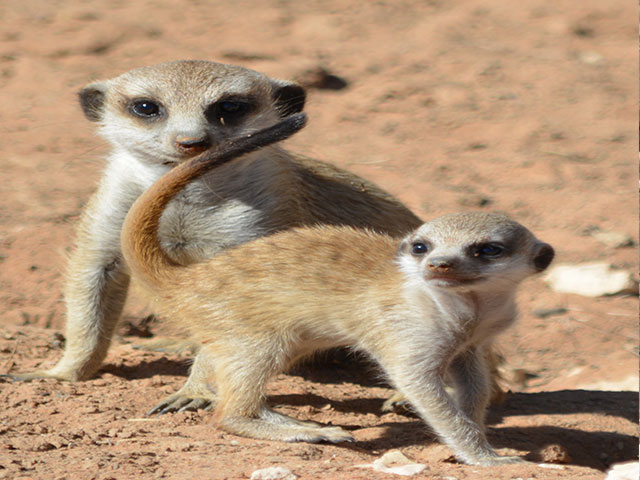 http://www.kalahari-trails.co.za/wp-content/uploads/2017/03/new-meerkats-slide-3.jpg