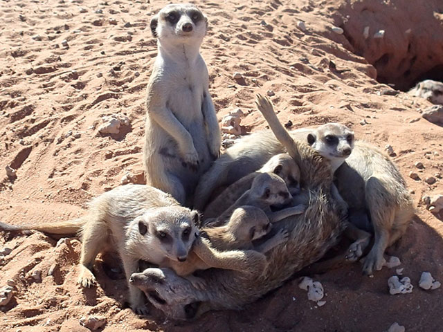 http://www.kalahari-trails.co.za/wp-content/uploads/2017/03/new-meerkats-slide-4.jpg