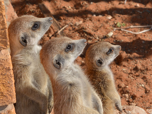 http://www.kalahari-trails.co.za/wp-content/uploads/2017/03/new-meerkats-slide-5.jpg