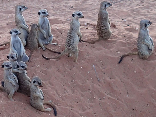 http://www.kalahari-trails.co.za/wp-content/uploads/2017/03/new-meerkats-slide-7.jpg