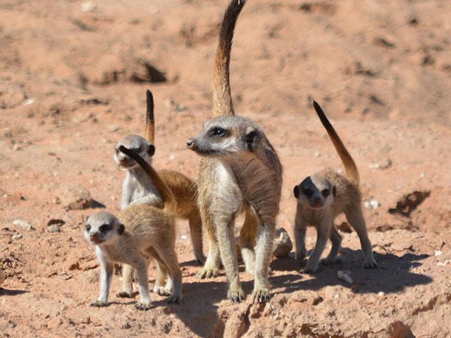 http://www.kalahari-trails.co.za/wp-content/uploads/2017/03/new-meerkats-slide-8.jpg