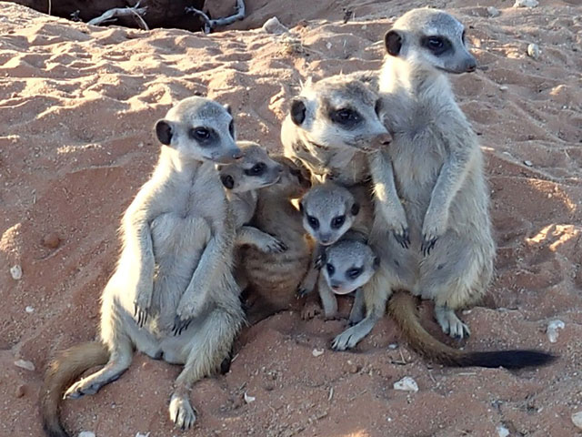 http://www.kalahari-trails.co.za/wp-content/uploads/2017/03/new-meerkats-slide-9.jpg