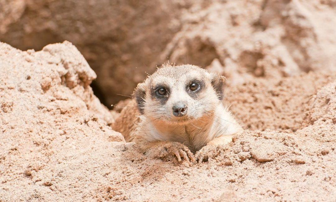 Our Meerkats